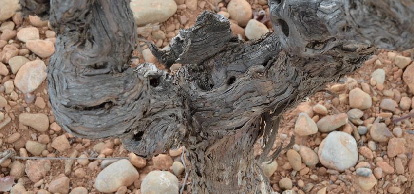 La frase 'Dormir como un ceporro' y su relación con el mundo del vino