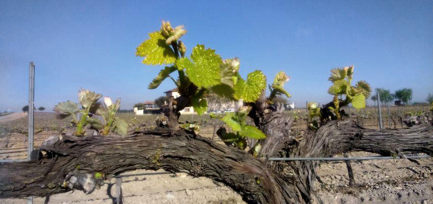¡El verde llega al viñedo!