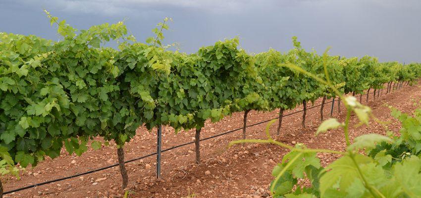 Viticultura de precisión para un cultivo respetuoso y eficiente